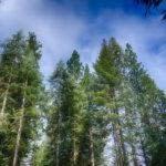 Story: Dreams of Three Tall Trees
